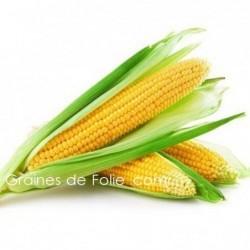Maïs GOLDEN BATAM doux sucré précoce graines semences variétés anciennes