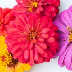 Zinnia de Californie elegans graines semences fleurs