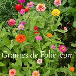 zinnia semences mix couleurs