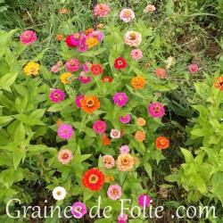 zinnia graines fleurs semences