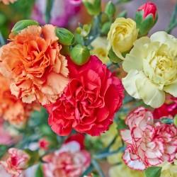 oeillet de fleuriste CHABAUD MIX fleur double vives graines semences