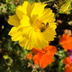 Cosmos bright light jaune orange mélange couleur graines semences fleurs