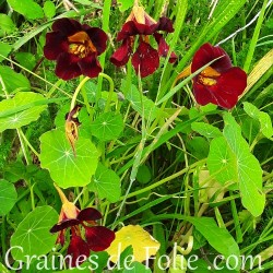 Capucine Black Velvet noire pourpre graines semences