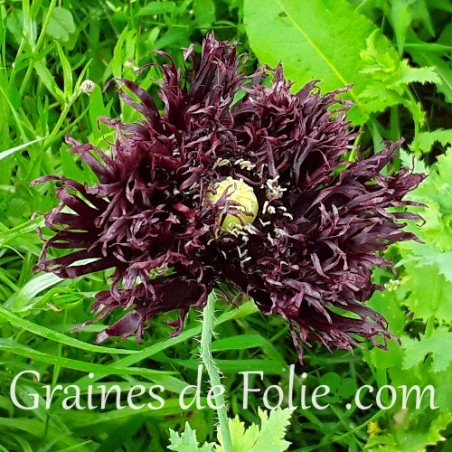 Pavot NOIR BLACK SWAN papaver somniferum graines semences seeds