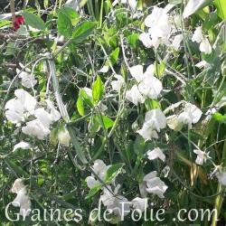 Pois de senteur Royal BLANC fleur graines
