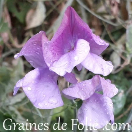 Pois de senteur couleur mauve royal lavande fleur graines