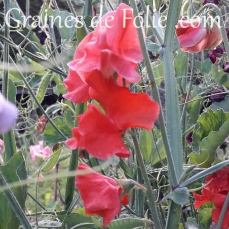 Pois de senteur ROUGE air warden fleur graines annuel