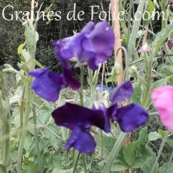 Pois de senteur BLEU ROYAL fleur graines blue