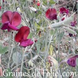 Pois de senteur BLACK KNIGHT grandiflora fleur graines semences