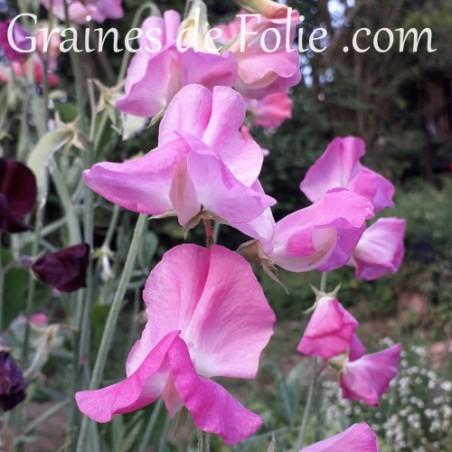 Pois de senteur MRS R. BOLTON fleur graines annuelle