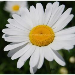 Grande Marguerite Shasta graines semences fleur