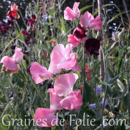 POIS de SENTEUR MAMMOUTH ROSE graines semences non traitées