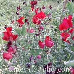 POIS de SENTEUR WINSTON CHURCHILL rouge graines semences non traitées