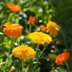 Souci NAIN FIESTA GITANA jaune orange graines semences
