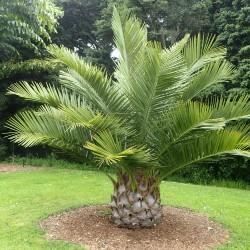 Palmier Cocotier du Chili Jubaea chilensis graines seeds