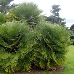 Palmier nain Chamaerops humilis graines seeds jardin