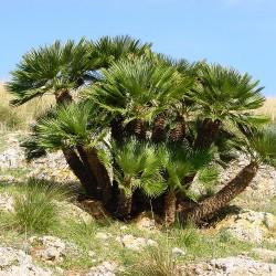 Palmier nain Chamaerops humilis graines seeds parc naturel