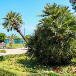 Palmier nain Chamaerops humilis graines seeds urbain