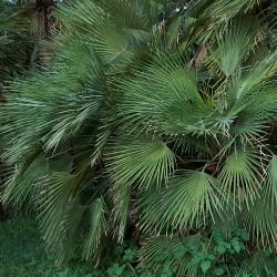 Palmier nain Chamaerops humilis feuillage graines seeds