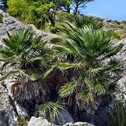 Palmier nain Chamaerops humilis graines seeds