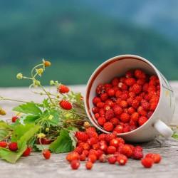 Fraisier productif type fraise des bois graines semences non traitées