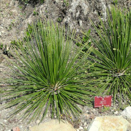 Agava striata mexique graines semences seeds