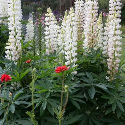 LUPIN RUSSEL Blanc La Demoiselle graines fleur