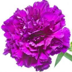 OEILLET des FLEURISTES CHABAUD VIOLET graines semences fleur