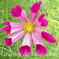 Cosmos bipinnatus seashells mélange de couleurs graines semences de fleurs