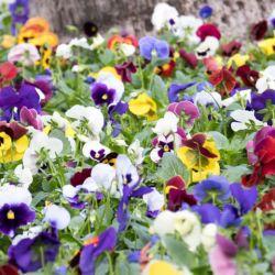 PENSEE GEANTE de SUISSE Mélange couleur graines semences fleur