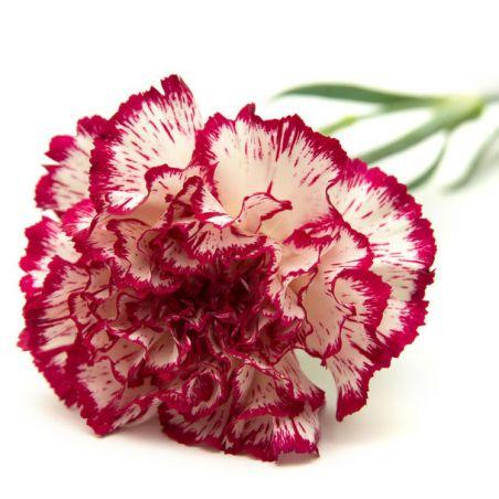 OEILLET des FLEURISTES CHABAUD DOUBLE STRIPED graines semences fleur