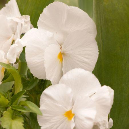 PENSEE GEANTE de SUISSE WHITE LADY couleur BLANC PUR graines semences