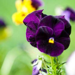 PENSEE GEANTE de SUISSE BERNA Velours Bleu violet graines semences