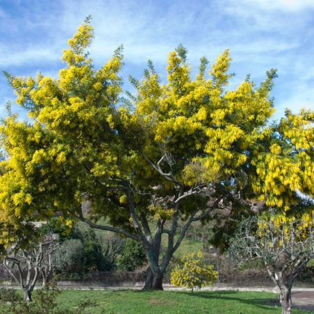 Acacia dealbata 30 graines fraîches de Mimosa d/'hiver Silver Wattle seed