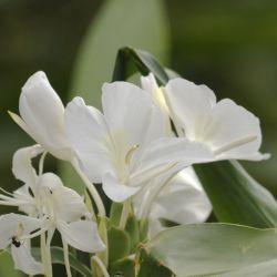 Hedychium Coronarium graines semences plantes exotiques