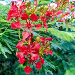 FLAMBOYANT delonix regia graines semences seeds