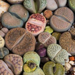 Plante CAILLOU Mix Lithops graines semences exotique