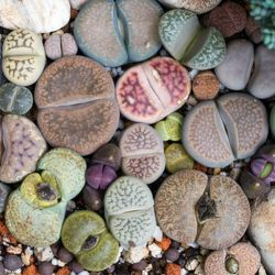 Plante CAILLOU Mix Lithops graines semences exotique
