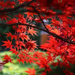 ERABLE DU JAPON acer palmatum graines semences seeds bonsai