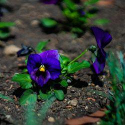 PENSEE GEANTE de SUISSE ULSSWATER DEEP BLUE graines semences