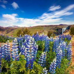 LUPIN RUSSEL Bleu Le Gentilhomme lupinus governor graines semences fleur