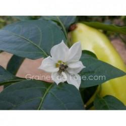 Poivron blanc diamond semences graines certifiée BIO