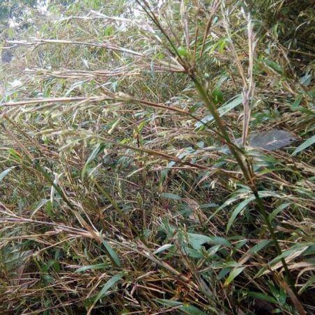 BAMBOU non traçants Fargesia south yunnan graines semences bamboo seeds