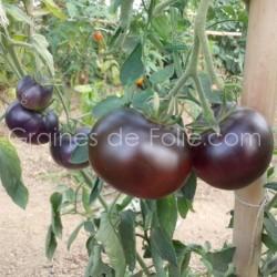 Tomate INDIGO APPLE graines semences certifiées BIO