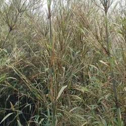 bambou fargesia guizou rustique et non traçants