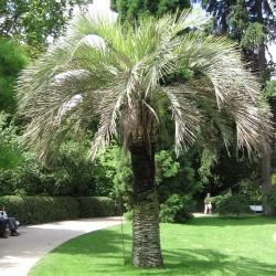Palmier à gelée ou Palmier Abricot butia odorata graines seeds
