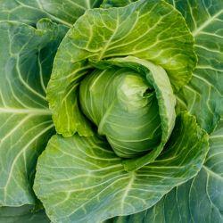 graines Chou Coeur de boeuf blanc cuor di bue cabbage seeds