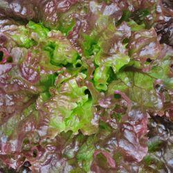 Laitue rouge Grenobloise graines semences