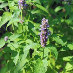 BIO Menthe Coréenne - agastache rugosa graines aromates plantes aromatique