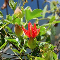 Passiflore Passiflora manicata wikimedia-Alejandro Bayer Tamayo  seeds samen semilla semi zaden